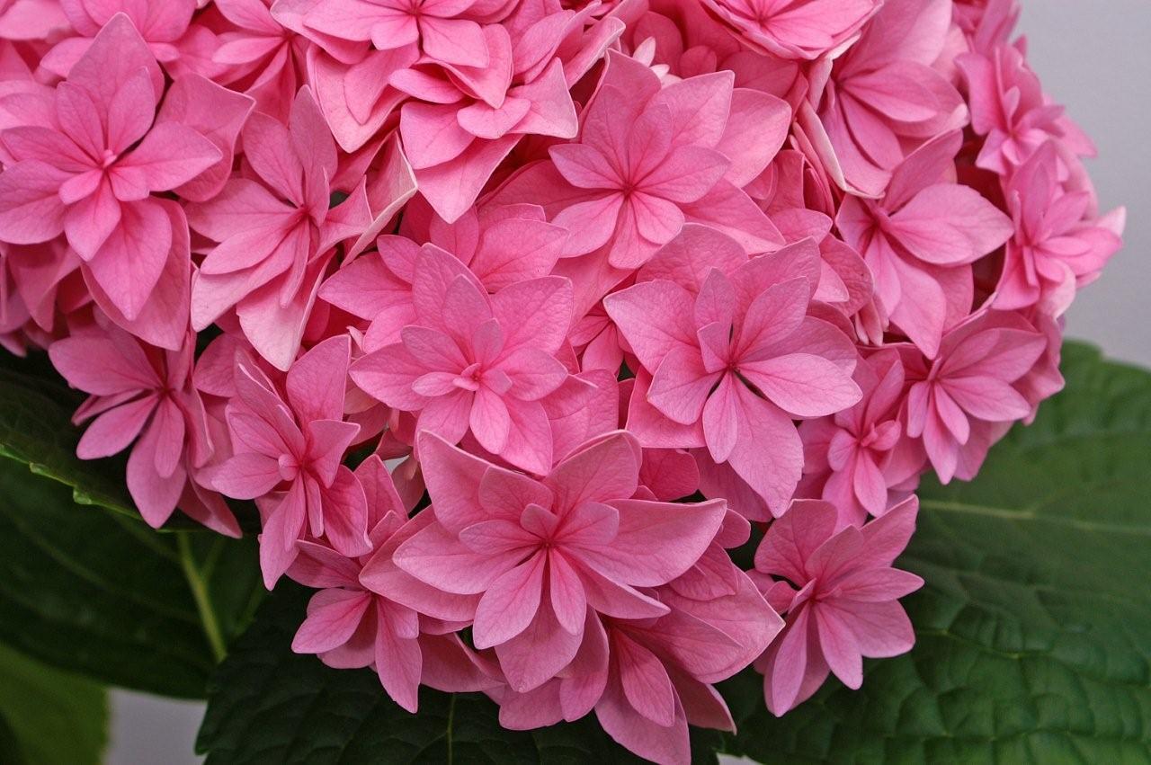 Hydrang a perfection un hortensia qui a la grosse t te quatre saisons au jardin - Comment planter un hortensia ...