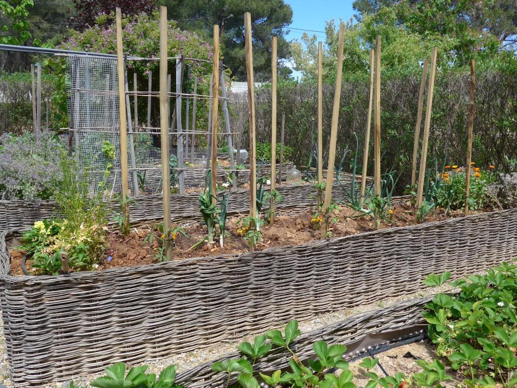 Greffe de tomates et plantation quatre saisons au jardin - Plantation de tomates ...