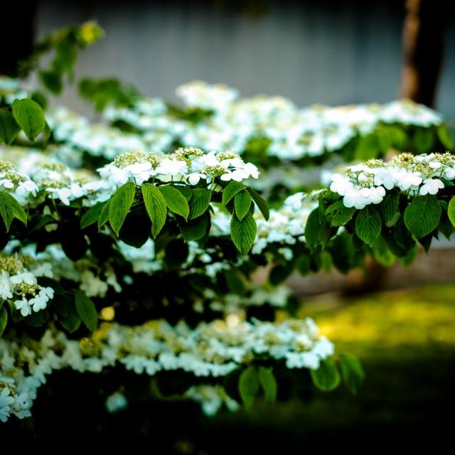viburnums plicatum mariesii