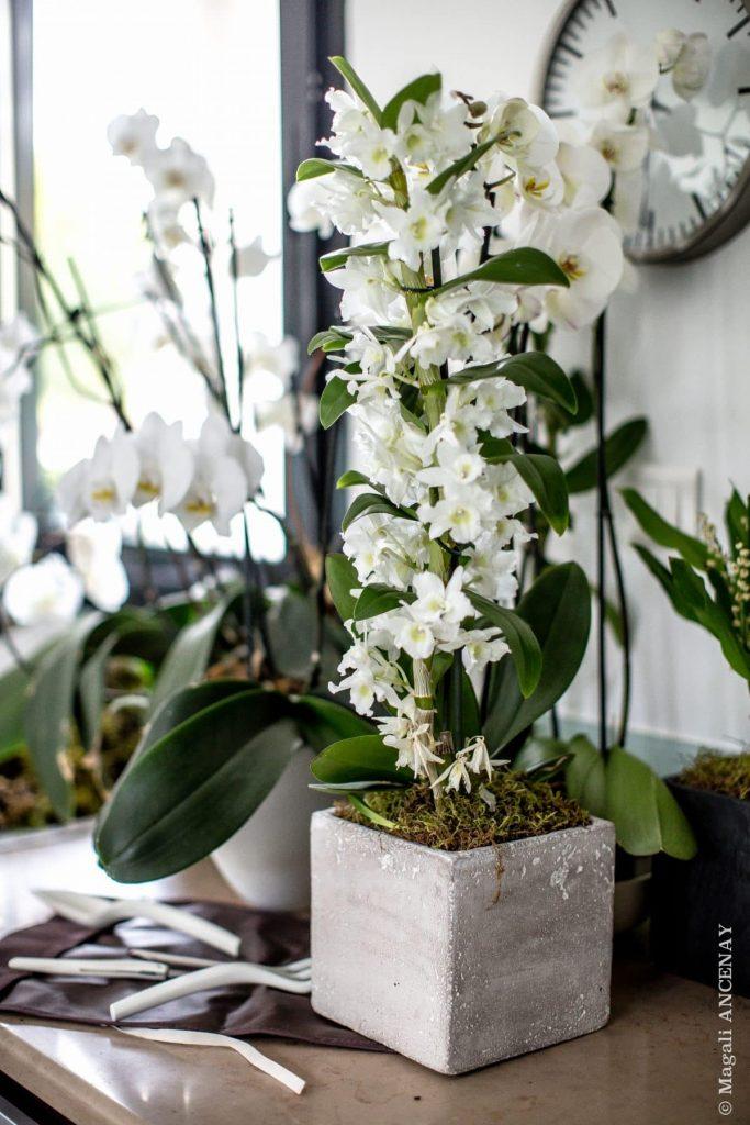 Orchidée Dendrobium