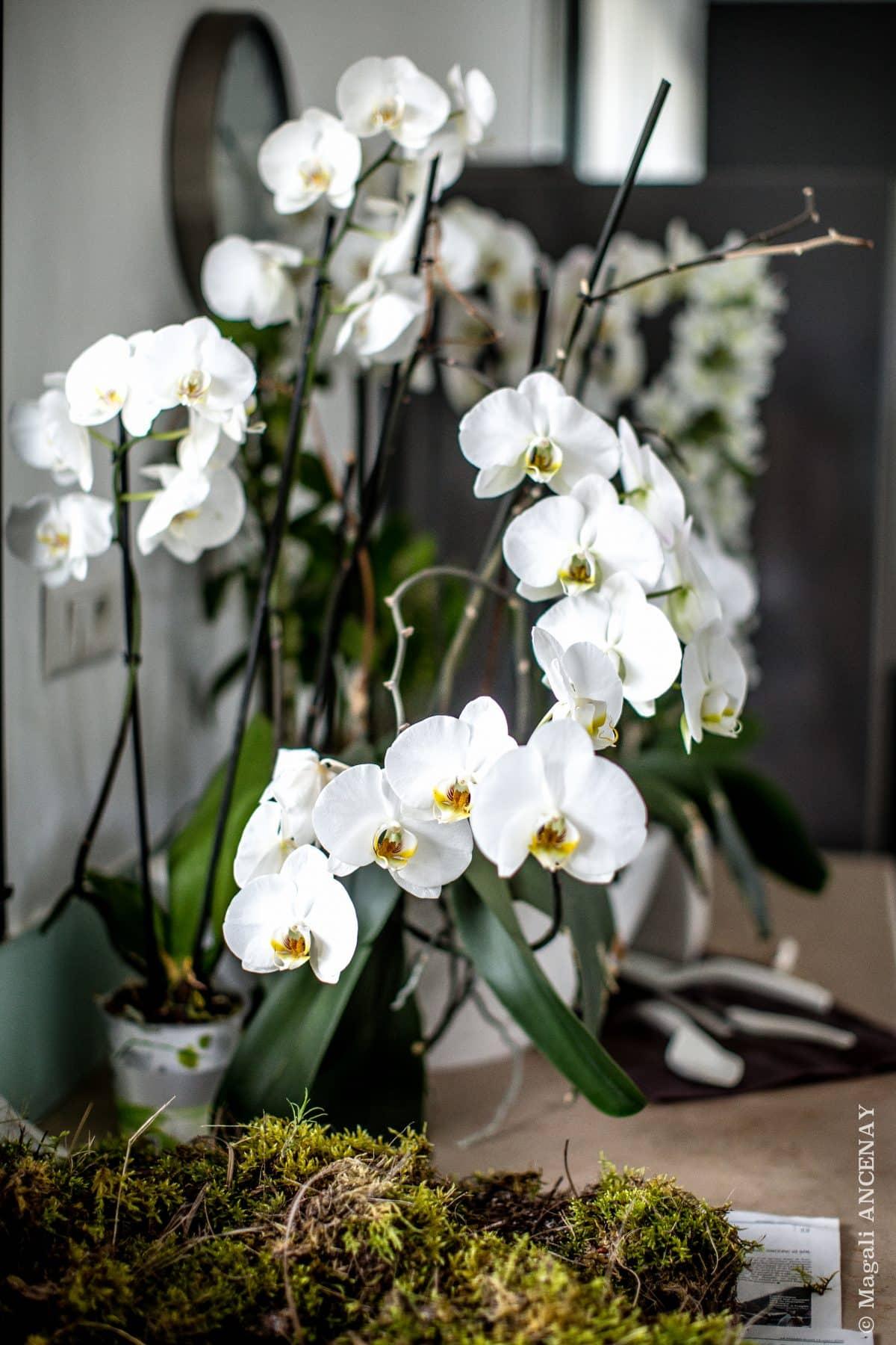 orchid e phalaenopsis quatre saisons au jardin. Black Bedroom Furniture Sets. Home Design Ideas