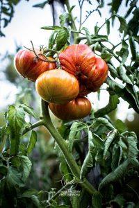 Tomate Feurwerk - Quatre saisons au jardin
